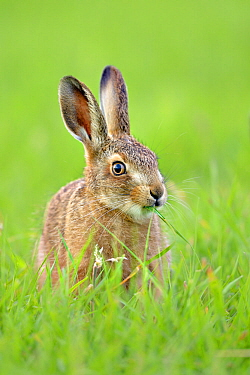 European hare (Lepus europaeus) leveret in field, UK. June.