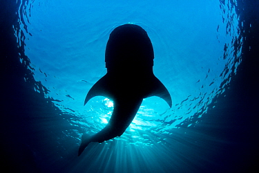 Whale shark (Rhincodon typus) silhouette of shark feeding on floating fish eggs (not visible) just below the surface in calm weather. Isla Mujeres, Quintana Roo, Yucatan Peninsula, Mexico. Caribbean S...