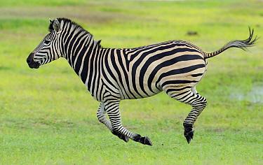 Common zebra (Equus quagga) running profile, Hwange National Park, Zimbabwe.