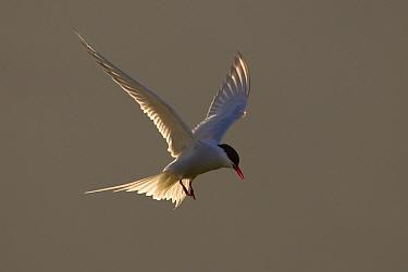 Arctic tern (Sterna paradisaea) backlit in evening light. Shetland Isles, Scotland, UK. June.