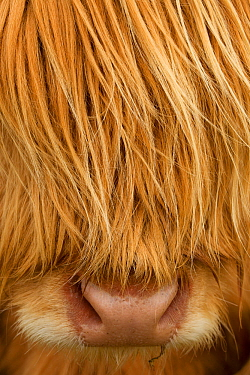Close-up of Highland cow (Bos taurus) showing thick insulating hair covering face. Isle of Lewis, Outer Hebrides, Scotland, UK, April.