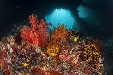 Crinoid (Crinoidea) on fan corals (Gorgonacea), Raja Ampat, West Papua, Indonesia