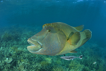 Adult male Napoleon Wrasse (Cheilinus undulatus) portrait, Great Barrier Reef, Queensland, Australia.