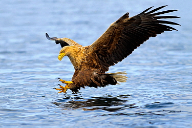 White-tailed sea eagle (Haliaeetus albicilla) in flight, hunting for fish. Flatanger, Norway, May.
