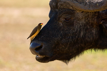 African buffalo (Syncerus caffer) male with Yellow-billed oxpecker (Buphagus africanus) on nose, Nakuru National Park, Kenya.