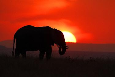 African Elephant (Loxodonta africana) silhouetted against setting sun. Maasai Mara, Kenya, Africa, August. Endangered species.