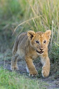 Lion (Panthera leo) cub running, Masai-Mara Game Reserve, Kenya. Vulnerable species.