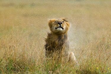 Lion (Panthera leo) male shaking water from its mane after rain, Masai-Mara Game Reserve, Kenya. Vulnerable species.