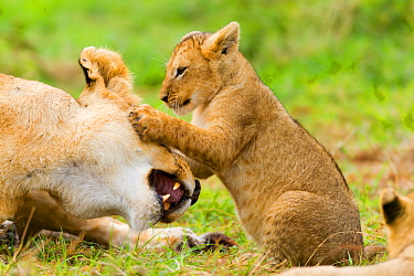 Lion (Panthera leo) cub playing with its mother's head, Masai-Mara Game Reserve, Kenya. Vulnerable species.