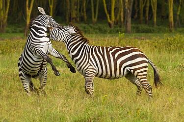 Grant's zebra (Equus burchelli boehmi) males fighting, Nakuru National Park, Kenya.
