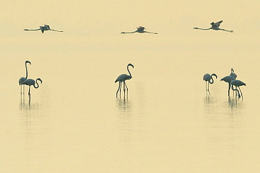 Eurasian flamingos (Phoenicopterus roseus) lined up on Pulicat Lake, Tamil Nadu, India, January.