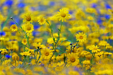 Corn Marigold (Chrysanthemum segetum) and Cornflowers (Centaurea) in flower, July. England, UK.