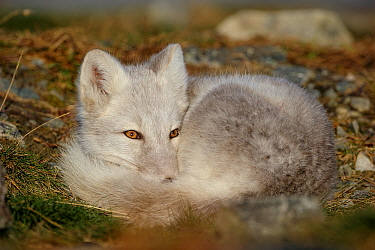 Arctic Fox (Alopex lagopus) curled up, resting, during moult from grey summer fur to winter white. Dovrefjell National Park, Norway, September. Dovrefjell National Park, Norway, September.