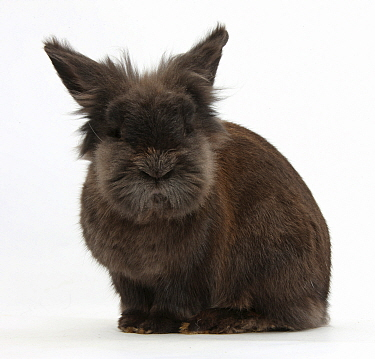 Elderly Lionhead rabbit, against white background