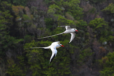 Red-billed tropicbirds (Phaethon aethereus) in flight. Tobago, West Indies. Digital Composite.