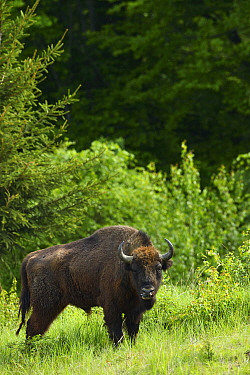 European bison / Wisent (Bison bonasus) released into Tarcu mountains nature reserve, Natura 2000 area, Southern Carpathians, Romania. May 2014.