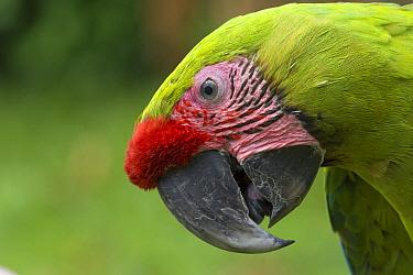 Great Green Macaw (Ara ambiguus) portrait, El Manantial Macaw Sanctuary, Costa Rica. Captive.