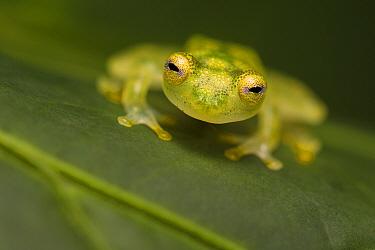 Reticulated Glass Frog (Hyalinobatrachium valerioi) Osa Peninsula, Costa Rica.