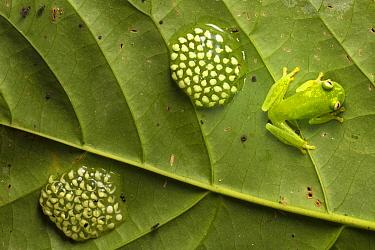 Fleischmann's Glassfrog (Hyalinobatrachium fleischmanni) male attending eggs on underside of leaf. Osa Peninsula, Costa Rica.