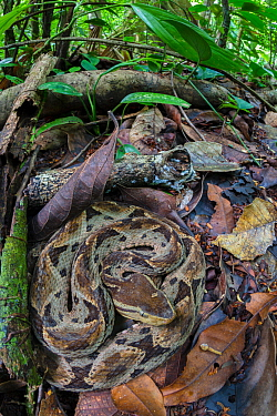 Fer-de-lance (Bothrops asper) camouflaged on rainforest floor. Corcovado National Park, Osa Peninsula, Costa Rica.