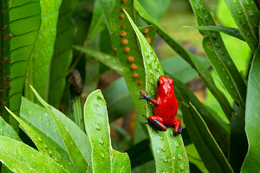 Strawberry Poison Frog (Oophaga pumilio). Central Caribbean foothills, Costa Rica.