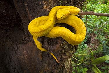 Eyelash Pit Viper (Bothriechis schlegelii) Costa Rica.