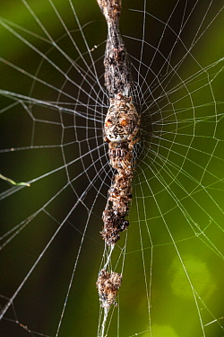 Trashline Orb Weaver Spider (Cyclosa sp.) camouflaged on attached vertical line of debris in web, San Jose, Costa Rica.