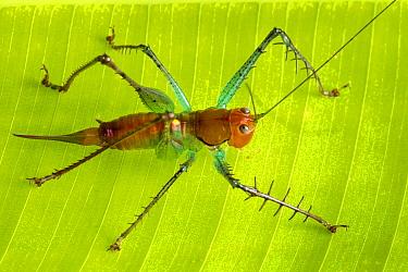 Spiny predatory katydid (Listroscelis sp.). Osa Peninsula, Costa Rica.