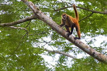 Black-handed spider Monkey (Ateles geoffroyi). Osa Peninsula, Costa Rica. May.. Endangered species.