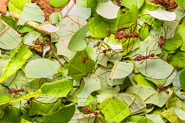 Leaf-cutter Ants (Atta cephalotes) carrying harvested leaf to their nest. Osa Peninsula, Costa Rica.