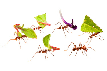 Leaf-cutter Ants (Atta cephalotes) carrying harvested leaf to their nest. Osa Peninsula, Costa Rica. Composite image.