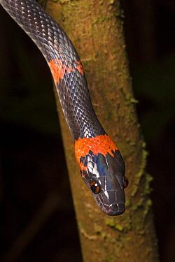False Coral Snake / Bush Racer / Forest Flame-Snake (Oxyrhopus petolarius), Osa Peninsula, Costa Rica.