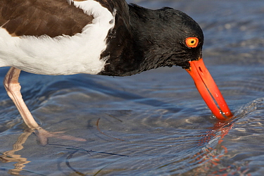 American oystercatcher (Haematopus palliatus) probing sand for invertebrates at low tide. Tampa Bay, St. Petersburg, Florida, USA. March.