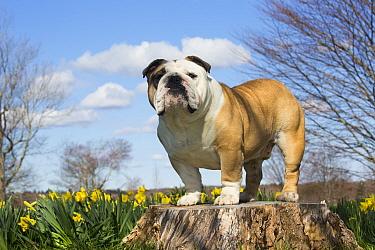Portrait of domestic English bulldog in daffodils. Waterford, Connecticut, USA. April.