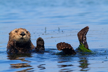 Southern sea otter (Enhydra lutris nereis), partially wrapped in eel grass, grooming near Monterey, California, USA. August.