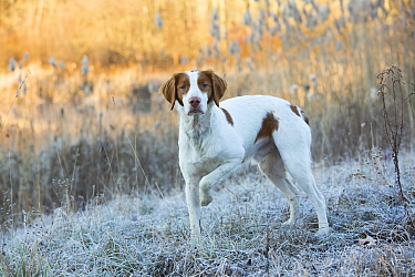 Portrait of domestic Brittany dog on frosty grass at dawn. Canterbury, Connecticut, USA. Late November.