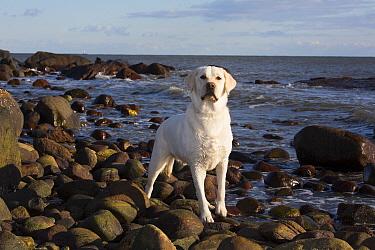 Domestic Labrador retriever on rocky seashore. Madison, Connecticut, USA. December.