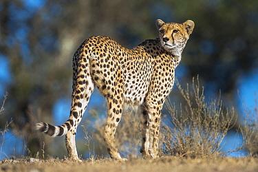 Cheetah (Acinonyx jubatus) female patrolling territory. Long Gully, Ngorongoro Conservation Area, Tanzania. April.
