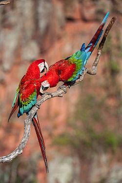 Pair of Red-and-green macaws (Ara chloropterus) preening. Buraco das Araras (Sinkhole of the Macaws), Jardim, Mato Grosso do Sul, Brazil. September.