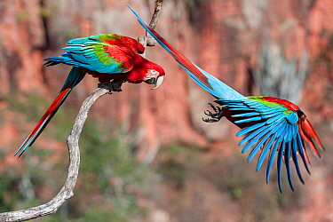 Red-and-green macaws (Ara chloropterus) two with one taking off, Buraco das Araras (Sinkhole of the Macaws), Jardim, Mato Grosso do Sul, Brazil. September.