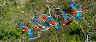 Red-and-Green Macaws or Green-winged Macaws (Ara chloropterus) in flight over forest canopy. Buraco das Araras (Sinkhole of the Macaws), Jardim, Mato Grosso do Sul, Brazil. September.