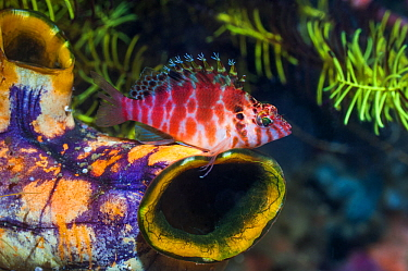 Spotted hawkfish (Cirrhitichthys aprinus) perched on Gold mouth sea squirt (Polycarpa aurata). West Papua, Indonesia.