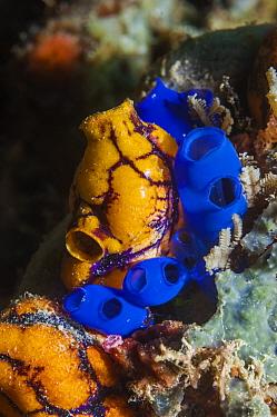 Sea sqirts or tunicates (Rhopalaea) and Golden sea squirt (Polycarpa aurata). Raja Ampat, West Papua, Indonesia.