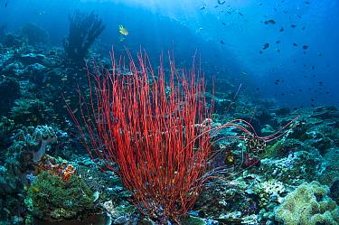 Sea whip or Gorgonian (Ellisella ceratophyta) on reef. West Papua, Indonesia.