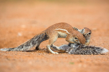 Ground squirrels (Xerus inauris) grooming, Kgalagadi Transfrontier Park, Northern Cape, South Africa, January.