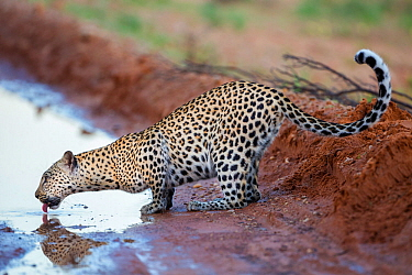 Leopard (Panthera pardus) female drinking from puddle in road, Kgalagadi Transfrontier Park, Northern Cape, South Africa, February.