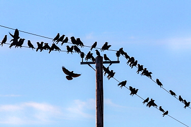 Jackdaws (Corvus monedula) gathering on telegraph wires over farmland, Dumfries and Galloway, Scotland, UK, March.