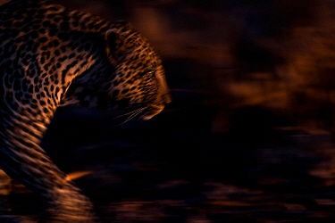 Leopard (Panthera pardus) walking - blurred motion. Londolozi Private Game Reserve, Sabi Sands Game Reserve, South Africa.
