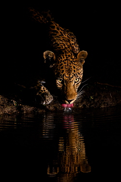 Leopard (Panthera pardus) drinking, reflected in waterhole, Londolozi Private Game Reserve, Sabi Sands Game Reserve, South Africa.