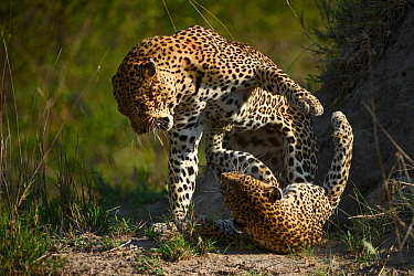 Leopards (Panthera pardus) fighting, Londolozi Private Game Reserve, Sabi Sands Game Reserve, South Africa.